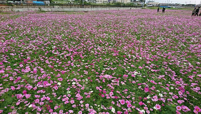 沖縄のコスモス